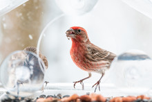 Two, Pair, Couple, Gray Female, Red Male House Finch Birds Closeup Sitting Perched On Window Feeder Perch, Cracking, Holding In Beak, Shelling, Eating Sunflower Seeds, Cold, Snow Snowing, Virginia