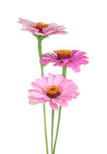 Three Zinnia Flowers