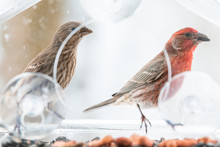 Two Curious, Pair, Couple, Female, Red Male House Finch Birds Closeup Sitting Perched On Window Feeder Perch, Holding In Beak, Shelling, Eating Sunflower Seeds, Looking In Snow, Snowing, Virginia