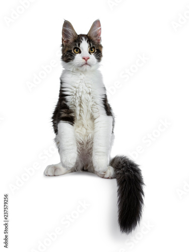 Cute Black Tabby With White Maine Coon Cat Kitten Sitting Front View Looking Beside Lens Isolated On White Background Front Paws In Air And Tail Around Body Buy This Stock Photo