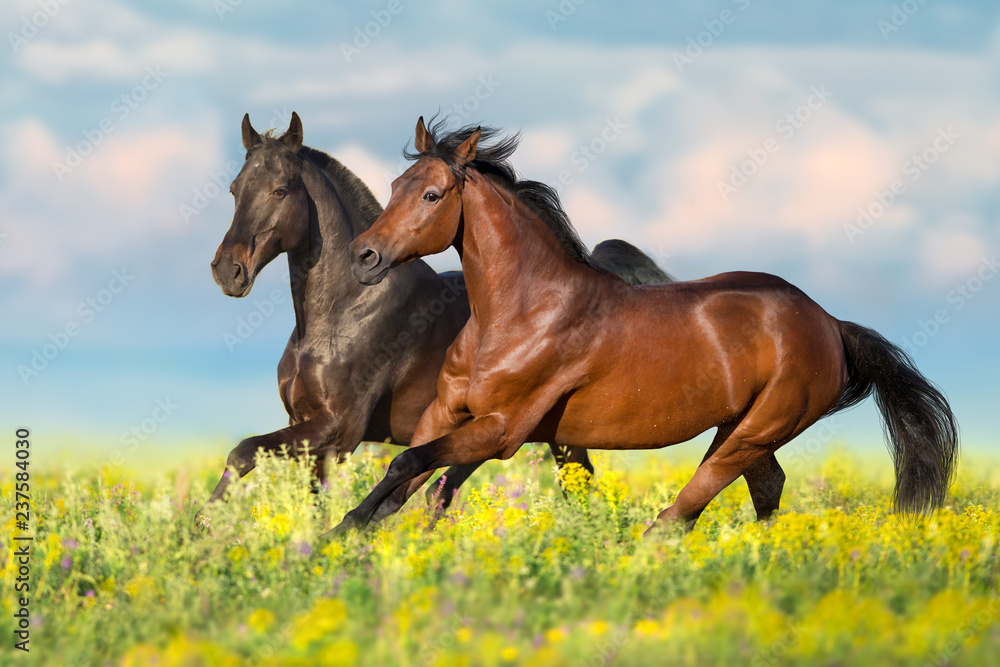Two bay horse run gallop on flowers field with blue sky behind