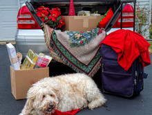 Packing A Car's Trunk Getting Ready To Travel For The Holidays.  Presents And Luggage Are Being Packed In. Large Golden Doodle Dog Awaits