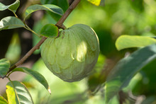 Green Ripe Cherimoya Or Ice Cream Exotic Fruit With Tasty Fruit Flavor Growing On Tree
