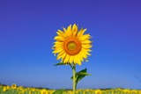 Fototapeta Flowers - Sunflower in front of blue sky