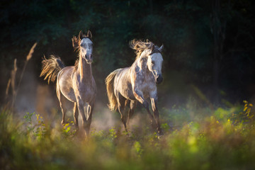 Two grey arabian stallion with long mane run gallop with dust