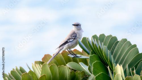 Canvas Print A Northern Mockingbird (Mimus polyglottos) Perched in Punta de Mita, Nayarit, Me
