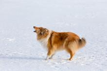 Barking Collie Dog On Snow Field