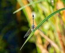 A Colorful Thornbush Dasher Dragonfly (Micrathyria Hagenii) Perched On Dried Grass In Punta Mita, Nayarit, Mexico
