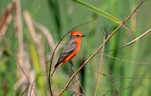 A Brilliant Red Male Vermilion Flycatcher (Pyrocephalus Rubinus) Perched While Hunting For Prey In Punta De Mita, Nayarit, Mexico