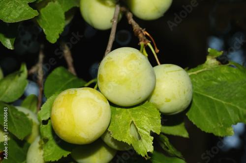 Unreife Mirabellen am Baum, Prunus domestica,
