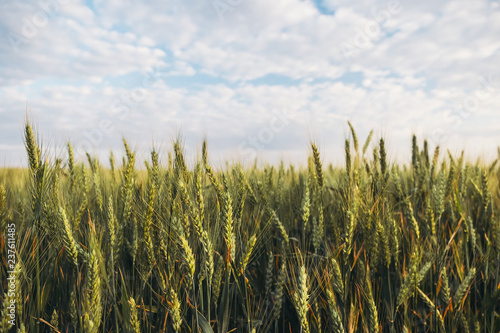 Field of green wheat under beautiful sky with white fluffy clouds