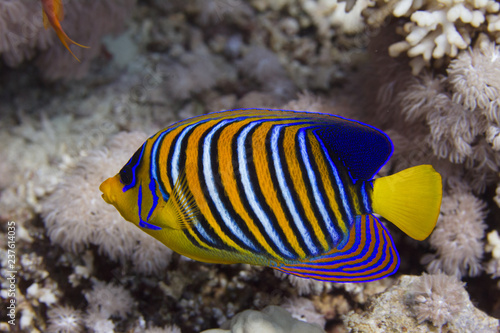 Regal Angelfish in Red Sea in Dahab, Egypt Wallpaper Mural