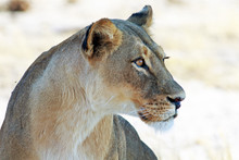 Side Profile Of An Alert Lioness Face With A Plain Bright Natural Background. Hwange National Park, Zimbabwe