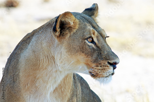 Carta da parati Side Profile of an alert lioness face with a plain bright natural background