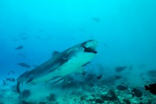 Tiger Shark (Galeocerdo Cuvier) Eating Tuna, Fuvahmulah Atoll, Indian Ocean, Maldives, Asia