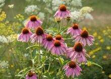 Purple Cone Flower (Echinacea ...