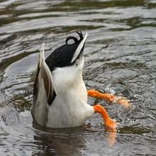 Mallard (Anas Platyrhynchos), Male, Head Under Water, Bottom Feeding, Tyrol Austria
