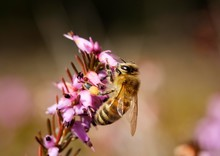 Honey Bee (Apis Mellifera) In ...