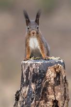 Eurasian Red Squirrel (Sciurus Vulgaris) Sits Attentively On Tree Stump, Tyrol, Austria, Europe