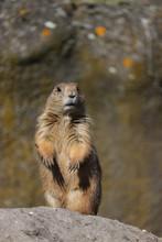 A Cute Prairie Dog Closeup
