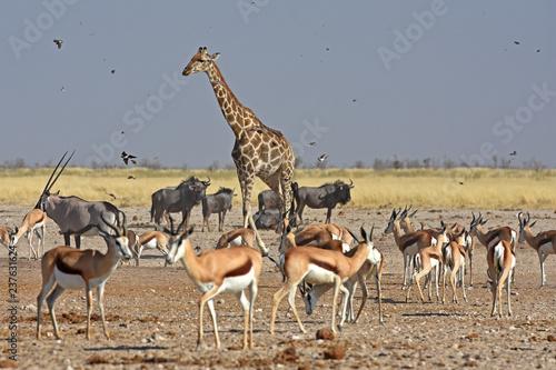 Photo Stands Antelope Antilopen und Vögel am Wasserloch Ozonjutji m`Bari im Etosha Nationalpark in Namibia