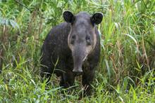 Baird's Tapir In The Rain - Ph...