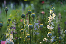 Wildflowers And Green Poppy Se...