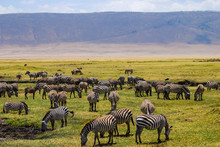Herd Of Zebras Grazing In The Beautiful Green Plains Of The Ngorongoro National Park. Safari In Tanzania, Africa