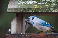 Male Blue Jay Eating At Bird Feeder. Moss Covered Weathered Roof. Horizontal Image With Background Intentional Out Of Focus In Soft Neutral Colors.