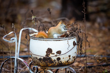 Cute Little Red Squirrel Sitting In White Enamel Ware Pot On An Antique Metal Trike In Garden. Soft Background Focus Of Browns And Autumn Leaves.