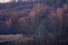 Purple Sunset On A Spring Meadow. A Flock Of Black Birds In The Trees. One White Bird In Flight. Awakening Of Nature..