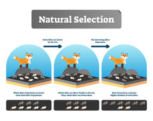 Natural Selection Vector Illustration. Explained Scheme With Life Evolution