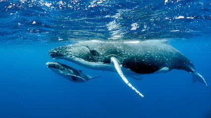 FototapetaHumpback Whale