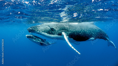 Photo sur Aluminium Dauphin Humpback Whale