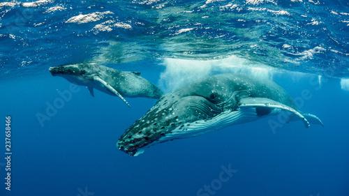Obraz na plátně Humpback Whale