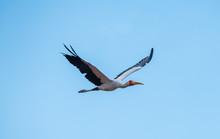 Flying Yellow Billed Stork
