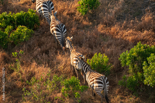 Poster Zebra zebra from aerial view