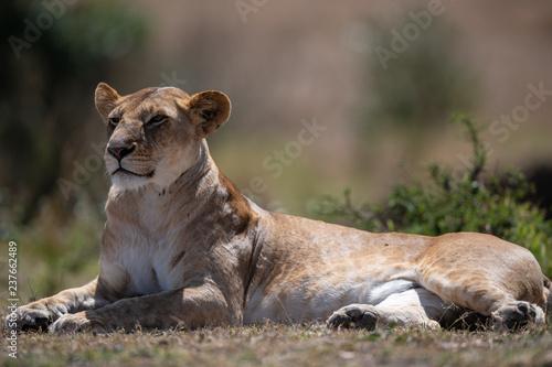 Photo  female lion sitting on ground