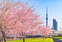 東京の春 夕暮れ時の隅田川堤防沿いの早咲きの桜並木