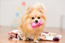 A Dog Of The German Spitz Breed Stands On A Blanket With A Toy In The Teeth