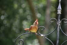 Female Cardinal Bird Songbird ...