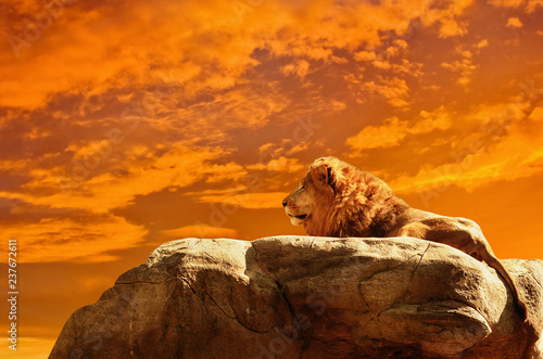 Photo  Lion at sunset background
