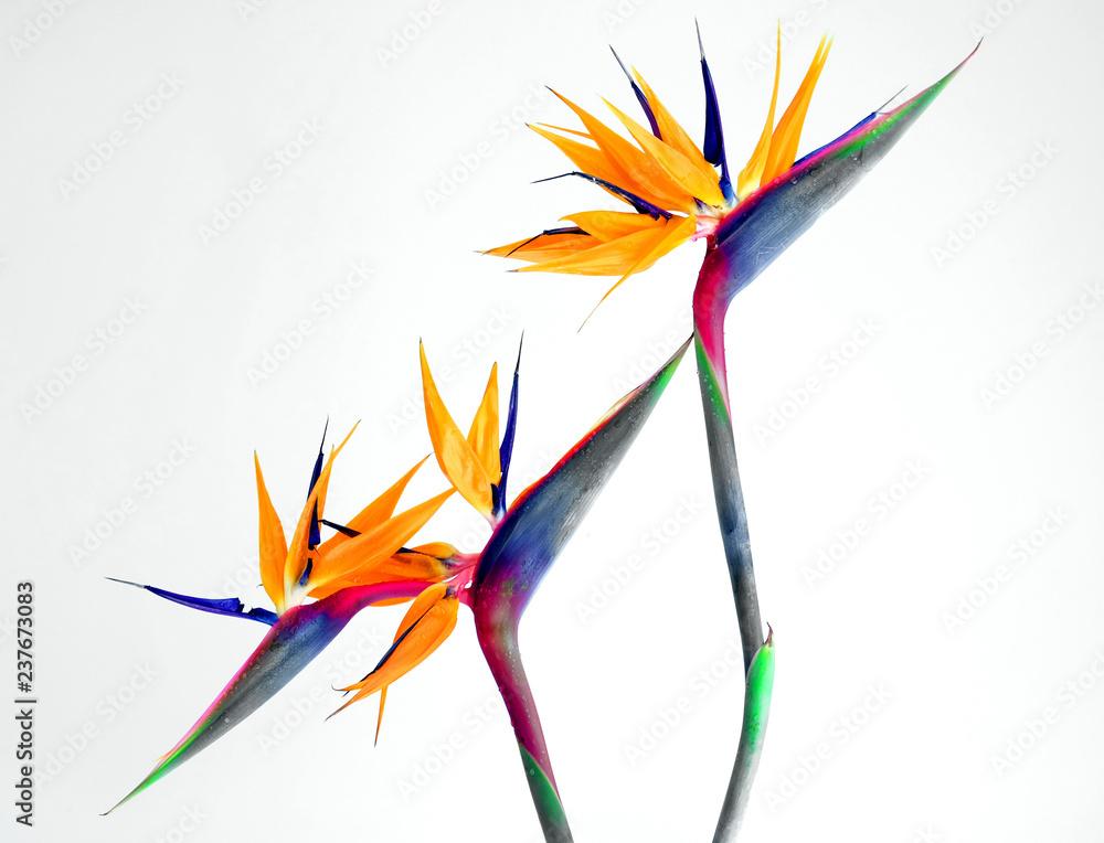 Fototapety, obrazy: bird of paradise
