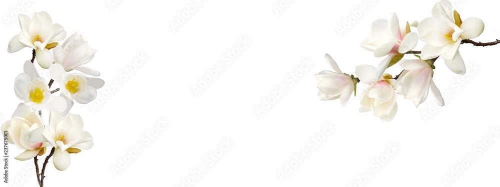 Fototapeta Beautiful magnolia flower on white background.
