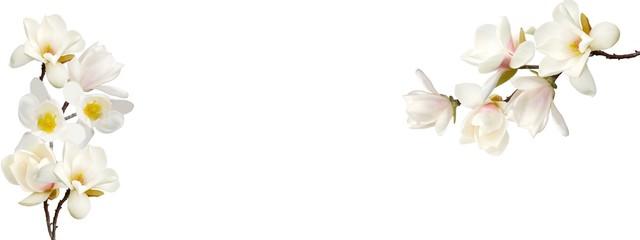 Prekrasan cvijet magnolije na bijeloj pozadini.