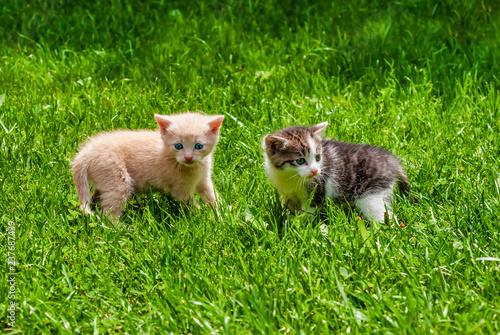 Fotografie, Obraz  Two Kittens Standing in the Grass