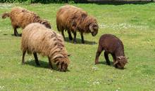 Moutons Suisses, Roux Du Valais Avec Un Agneau Paissant L'herbe Rase En Prairie
