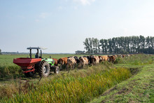 Row Of Cows Going To Be Milked, Tractor Drives Behind Cows Walking To The Stable In A Agricultural Landscape.