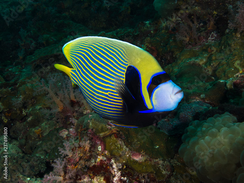 Fototapety, obrazy: Emperor angel fish on a coral reef