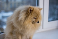 Sad Little Dog Sitting By The Window, Pomeranian Spitz Is Waiting For His Master